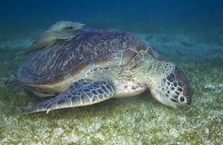 GREN-SEEschildkröte Chelonia mydas Stockfoto