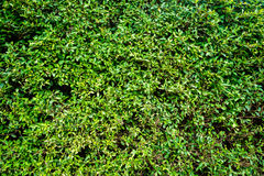 Free Gren Shrubbery. Royalty Free Stock Photos - 73453168