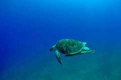 Gren turtle Royalty Free Stock Images