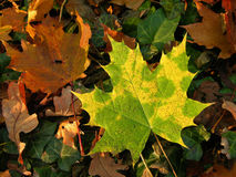 Gren and yellow autumn leaves Royalty Free Stock Photography