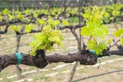 Grenache Grape Vines in a Vineyard Stock Photos