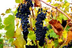 Grenache Grapes, McLaren Vale Stock Photos