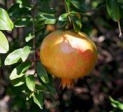 Grenade espagnole non mûre sur un arbre image libre de droits
