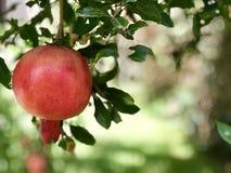 Grenade, fruit traditionnel juif de nouvelle année de hashanah de Rosh images stock