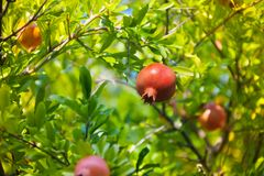 Grenade fruit on the tree royalty free stock photography