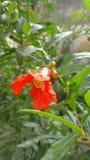 Grenade ou fleur de punica granatum image libre de droits