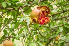 Grenade rouge criquée sur une branche d'arbre Image libre de droits