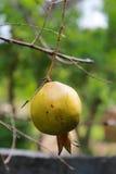 Grenade sur l'arbre Image libre de droits