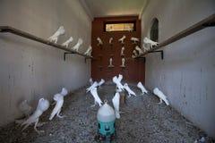 Grenier complètement des pigeons blancs Photographie stock