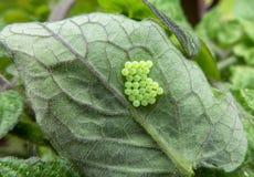 Grenn eggs on leaf Royalty Free Stock Images
