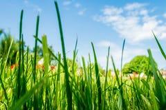 Grenn grass. The grenn grass on the blue sky background Stock Images