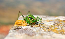Grenn grasshopper insect wild royalty free stock photography