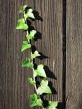 Grenn ivy climbing. English grenn ivy growing on a palisade Stock Photo