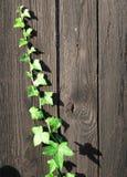 Grenn ivy creeping. English grenn ivy growing on a palisade Royalty Free Stock Image