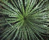 Grenn kaktus z unikalnym kształtem agawa Fotografia Stock