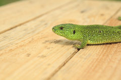 Grenn Lizard Royalty Free Stock Photography