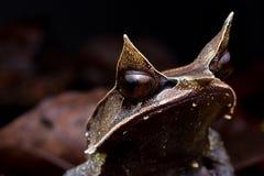 Grenouille à cornes malaise Image libre de droits