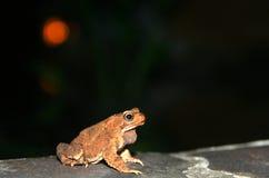Grenouille à la nuit Photo libre de droits