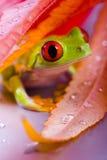 Grenouille Photos libres de droits