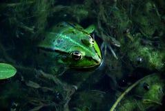 grenouille Images libres de droits