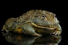 Grenouille africaine d'adspersus de Pyxicephalus de grenouille mugissante d'isolement sur le fond noir Images libres de droits