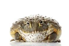 Grenouille africaine de grenouille mugissante/lutin Photographie stock