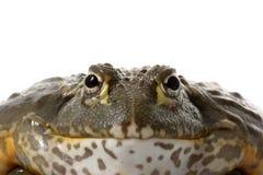 Grenouille africaine de grenouille mugissante/lutin Images stock