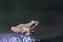 Grenouille agile (dalmatina de Rana) Photo stock