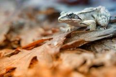 Grenouille agile (dalmatina de Rana) Photo stock