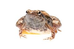 Grenouille animale Photographie stock