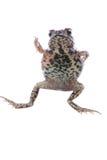 Grenouille animale de crapaud Images libres de droits