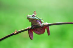 Grenouille, animaux, papillon, photographie stock