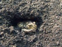 Grenouille au sol 5 Photos libres de droits