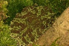 Grenouille aux yeux d'insectes de Tonkin à partir de dessus Photo stock