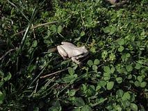 Grenouille blanche dans l'herbe image libre de droits