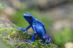 Grenouille bleue Image libre de droits