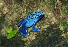 Grenouille bleue - azureus de Dendrobates Photographie stock libre de droits