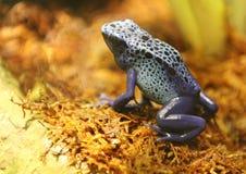 Grenouille bleue de dard Images stock