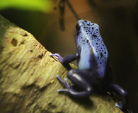 Grenouille bleue de dard Photos libres de droits