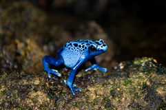 Grenouille bleue de dard de poison Photo libre de droits