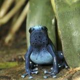 Grenouille bleue de dard de poison Photographie stock