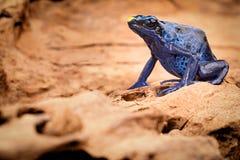 Grenouille bleue de dard de poison Photographie stock libre de droits