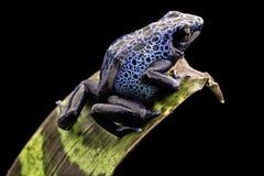 Grenouille bleue de dard de poison Photos stock