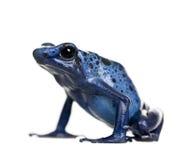 Grenouille bleue de dard de poison sur le fond blanc photo libre de droits