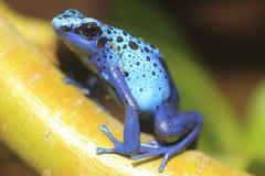 Grenouille bleue de flèche de poison image stock