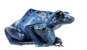 Grenouille bleue et noire femelle de dard de poison image stock