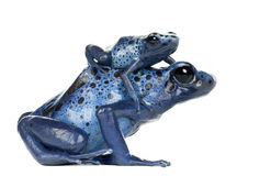 Grenouille bleue et noire femelle de dard de poison avec des jeunes Photographie stock libre de droits