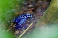 Grenouille bleue toxique de flèche d'Amérique du Sud photo libre de droits