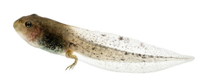 Grenouille commune, tadpole de temporaria de Rana Photographie stock