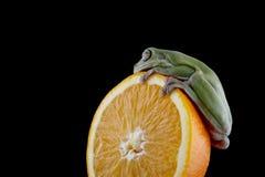 Grenouille d'arbre blanche du ` s Photographie stock libre de droits
